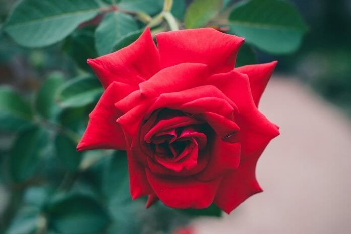 red-roses-1149940_1280