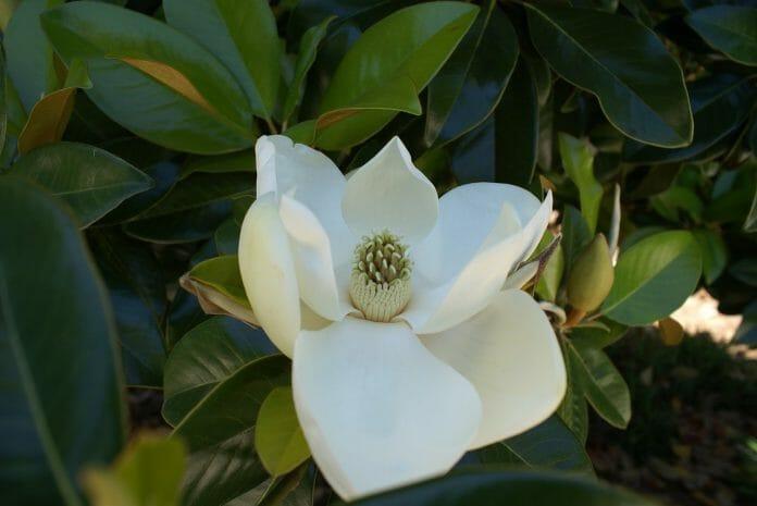 magnolia-951998_1280