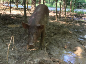 The pigs are kept in large pastures to keep them from being constrained.